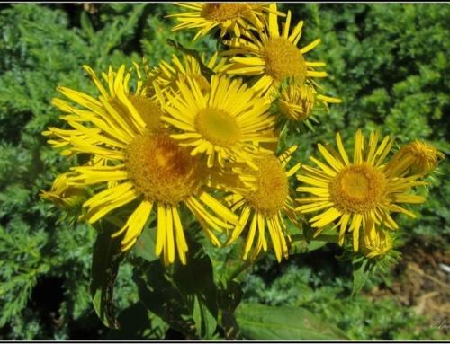 Decoctul de iarba-mare trateaza alergiile insotite de mancarimi