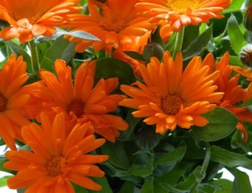 Galbenelele si papadia nu trebuie sa lipseasca in tratarea bolilor hepatice