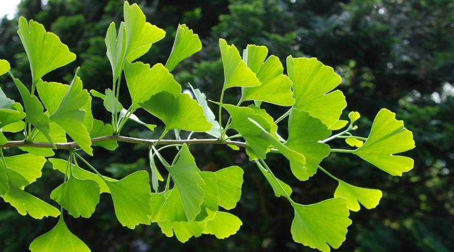Copac viu cu varice ,unguente combinate pentru varice pe picioare