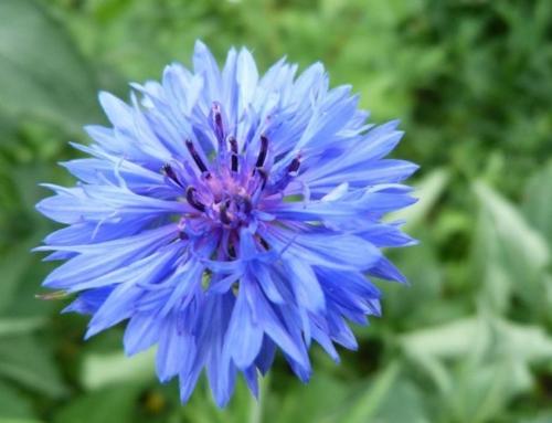 Infuzia din flori de albastrele, remediu util in caz de blefarita