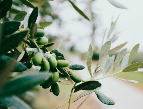 Maslinul, una dintre cele mai vechi plante de leac