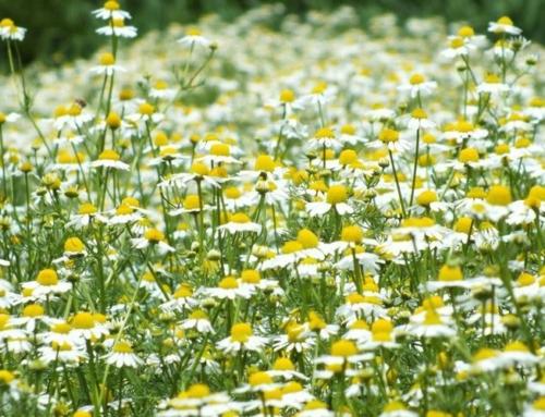 Plantele primaverii, cele mai bune medicamente ale inimii