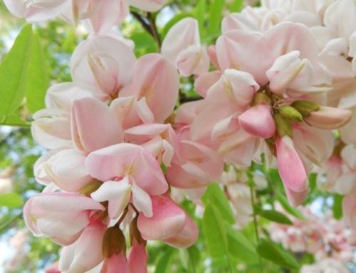 Preparatele din flori de salcam calmeaza depresiile