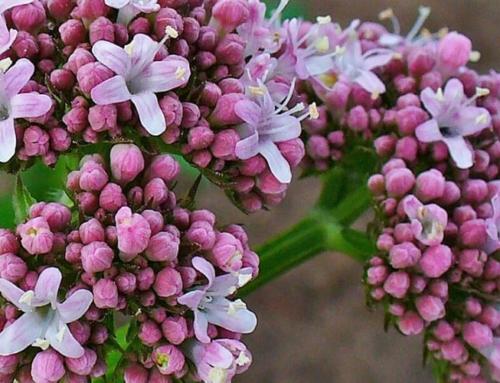Valeriana, calmantul ideal al sistemului nervos